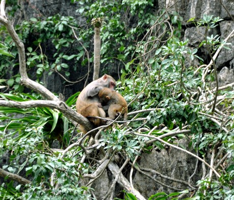 monkey on Halong bay islands