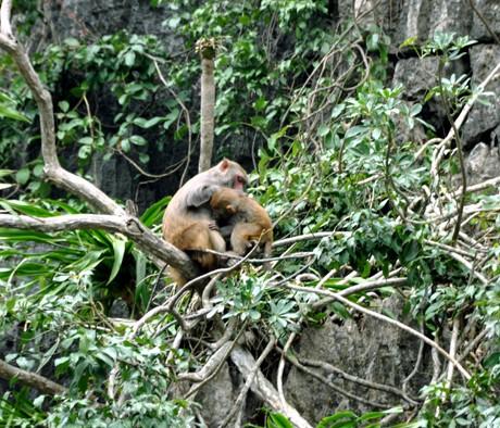 monkey on Halong bay islands